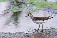 Vasto piovanello fatturato dell'uccello acquatico Falcinellus di Limicola immagini stock libere da diritti