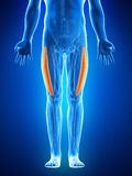 The vastus lateralis Stock Images