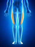 The vastus lateralis Stock Photography