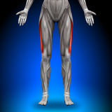 Vastus Lateralis -  Female Anatomy Muscles Royalty Free Stock Photo