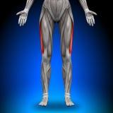 Vastus Lateralis - Female Anatomy Muscles. Vastus Lateralis - Female Human Anatomy Muscles stock illustration