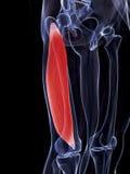 Vastus lateralis muscle Stock Photography