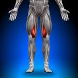 Vastus Medialis - Anatomie-Muskeln Stockfotos