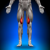 Vastus Medialis - Anatomiespieren Stock Foto's