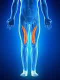 The vastus medialis Stock Photos