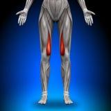 Vastus Medialis - weibliche Anatomie-Muskeln lizenzfreie abbildung