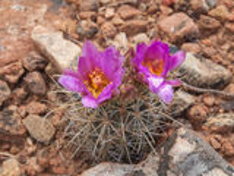 Vatcactus in bloei Stock Foto's