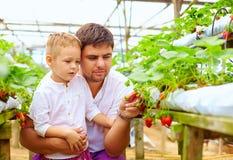 Vater und Sohn, die Erdbeeren im Gewächshaus ernten Stockfoto