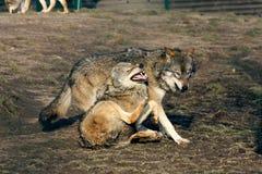 Vater- und Sohnwolfkampf Stockfoto