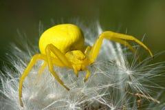 Vatia de Misumena de la flor de araña Fotografía de archivo