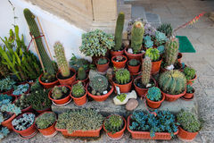 Cactuses or Cacti. Vatious species of cactuses or cacti in flower pots used for outdoor decoration stock photos