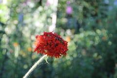 Vatochnik, ou Asklepias, são um gênero das plantas da família de Kutrovye foto de stock
