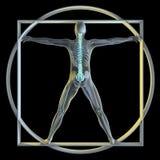 vatruvian人的脊椎 库存图片