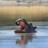 Vatten Afrika för flodhästhuvud över - Arkivbilder