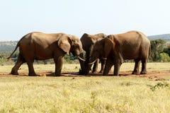 Vatten - afrikanBush elefant Royaltyfri Foto