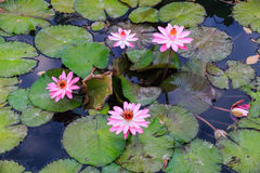 Vatten- arbeta i trädgården för näckrors Royaltyfri Fotografi