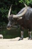 Vatten Buffalo2 Royaltyfria Bilder
