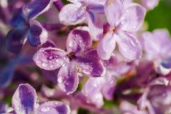 Vatten de de lente lilac violette bloemen, zachte bloemenachtergrond samen Macro Stock Afbeelding