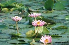 vatten för 2 lilja Arkivbild