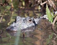 Vatten för alligatorhuvud över - royaltyfria foton