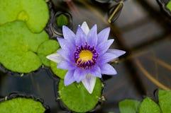 vatten för blommaliljapurple Arkivfoton