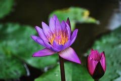 vatten för blommaliljapurple Royaltyfria Foton