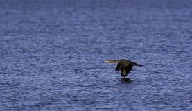 Vatten för Cormorantflyg nästan Royaltyfria Foton