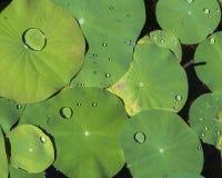 vatten för droppleaflotusblomma Royaltyfria Bilder