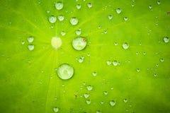 vatten för droppleaflotusblomma Arkivfoto