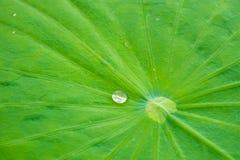 vatten för droppleaflotusblomma Arkivfoton