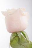 vatten för härliga droppar för bakgrund rose Royaltyfria Foton