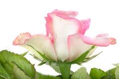 vatten för härliga droppar för bakgrund rose Royaltyfria Bilder