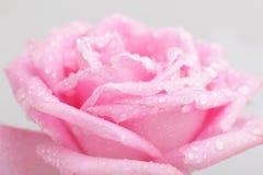 vatten för härliga droppar för bakgrund rose Fotografering för Bildbyråer