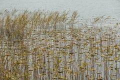 vatten för kanalliljavasser Royaltyfri Foto