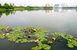 vatten för lakeliljapark Royaltyfri Bild