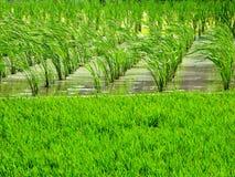vatten för lantgård för bambukantjusteringsduckweed Arkivfoton