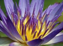 vatten för lilja 5213a Arkivfoto