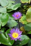 vatten för liljalotusblommapurple Royaltyfri Fotografi