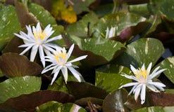 vatten för liljar tre Arkivfoton