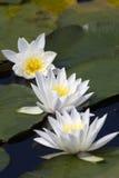vatten för liljar tre Royaltyfri Bild