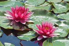 vatten för liljar två Royaltyfri Bild