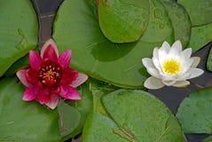 vatten för liljar två Fotografering för Bildbyråer