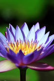 vatten för lotusblomma för closeupblomma lilly Royaltyfria Foton