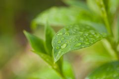 vatten för makro för leaf för 4 droppar för bakgrund blått Arkivfoton