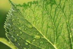 vatten för makro för leaf för 4 droppar för bakgrund blått Arkivbild