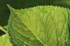 vatten för makro för leaf för 4 droppar för bakgrund blått Royaltyfri Bild