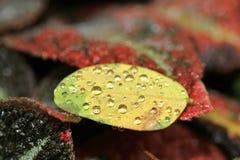 vatten för makro för leaf för 4 droppar för bakgrund blått Arkivfoto
