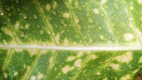 vatten för makro för leaf för 4 droppar för bakgrund blått Arkivbilder