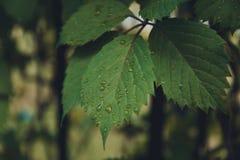 vatten för makro för leaf för 4 droppar för bakgrund blått royaltyfria foton