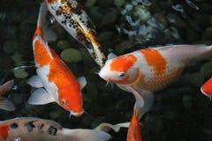 Vatten för orange fisk för grupp mörkt Arkivbild